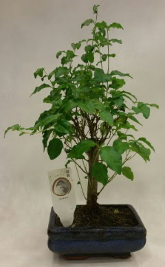 Minyatür bonsai japon ağacı satışı  İzmit uluslararası çiçek gönderme