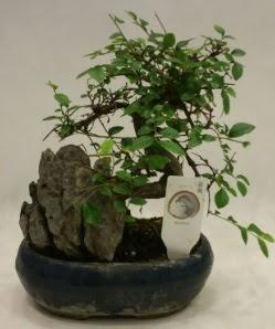 İthal 1.ci kalite bonsai japon ağacı  İzmit 14 şubat sevgililer günü çiçek