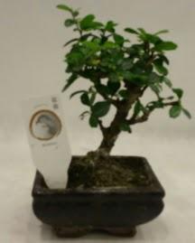 Küçük minyatür bonsai japon ağacı  İzmit cicekciler , cicek siparisi