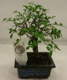 Minyatür ithal japon ağacı bonsai bitkisi  İzmit 14 şubat sevgililer günü çiçek