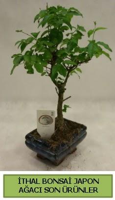 İthal bonsai japon ağacı bitkisi  İzmit çiçek satışı