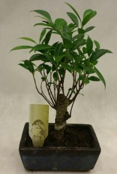 Japon ağacı bonsai bitkisi satışı  İzmit uluslararası çiçek gönderme