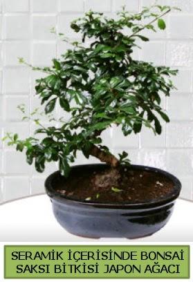 Seramik vazoda bonsai japon ağacı bitkisi  İzmit çiçek mağazası , çiçekçi adresleri