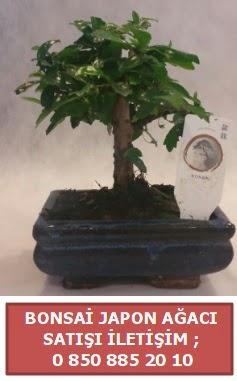 Japon ağacı minyaür bonsai satışı  İzmit 14 şubat sevgililer günü çiçek