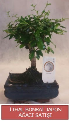 İthal küçük boy minyatür bonsai ağaç bitkisi  İzmit uluslararası çiçek gönderme