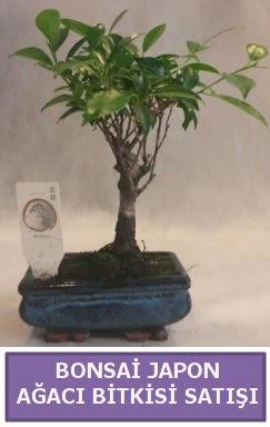 İthal Bonsai japon ağacı bitkisi satışı  İzmit çiçek siparişi vermek