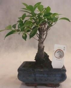 Bonsai ağacı japon ağaç bitkisi  İzmit cicek , cicekci