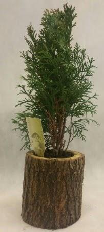 SINIRLI STOK Selvi Bonsai Doğal kütükte  İzmit çiçek siparişi vermek