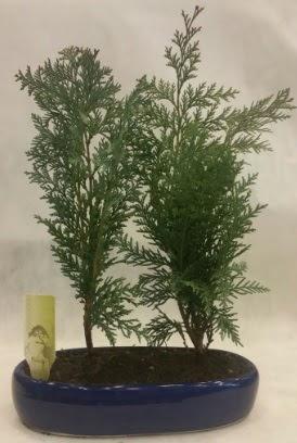 SINIRLI SAYIDA Selvi Ağacı bonsai ikili  İzmit uluslararası çiçek gönderme