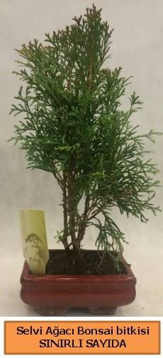 Selvi ağacı bonsai japon ağacı bitkisi  İzmit 14 şubat sevgililer günü çiçek