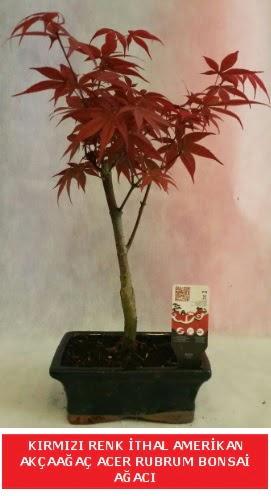 İTHAL ACER RUBRUM BONSAİ AĞACI  İzmit online çiçek gönderme sipariş