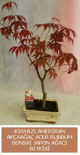 Amerikan akçaağaç Acer Rubrum bonsai  İzmit çiçek yolla