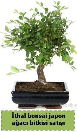İthal bonsai saksı çiçeği Japon ağacı satışı  İzmit çiçek siparişi vermek