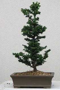 Çam ağacı bonsai bitkisi satışı  İzmit uluslararası çiçek gönderme