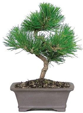 Çam ağacı bonsai japon ağacı bitkisi  İzmit cicekciler , cicek siparisi