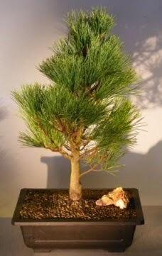 Çam ağacı japon ağacı bitkisi bonsai  İzmit uluslararası çiçek gönderme