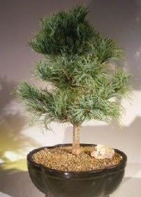 Çam ağacı bonsai bitkisi satışı  İzmit hediye sevgilime hediye çiçek