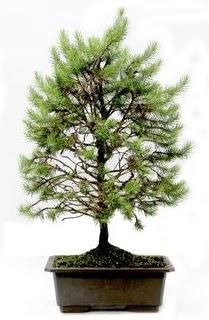 *** STOKTA YOK - Çam ağacı bonsai bitkisi satışı  İzmit çiçek gönderme sitemiz güvenlidir