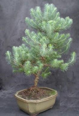 Bonsai çam ağacı japon ağacı bitkisi  İzmit online çiçek gönderme sipariş