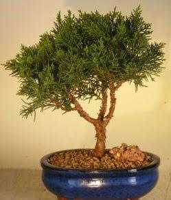 Servi çam bonsai japon ağacı bitkisi  İzmit cicek , cicekci