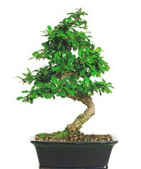 Bonsai bitkisi satışı  İzmit uluslararası çiçek gönderme