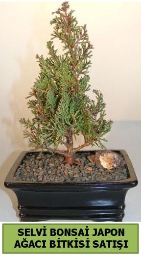 Selvi çam japon ağacı bitkisi bonsai  İzmit uluslararası çiçek gönderme