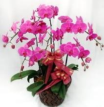 Sepet içerisinde 5 dallı lila orkide  İzmit hediye sevgilime hediye çiçek
