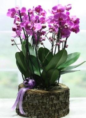 Kütük içerisinde 6 dallı mor orkide  İzmit hediye sevgilime hediye çiçek