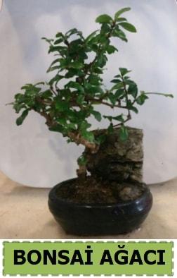 Bonsai ağacı japon ağacı satışı  İzmit çiçek online çiçek siparişi