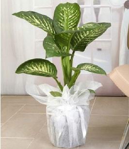 Tropik saksı çiçeği bitkisi  İzmit 14 şubat sevgililer günü çiçek