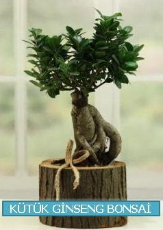 Kütük ağaç içerisinde ginseng bonsai  İzmit online çiçek gönderme sipariş