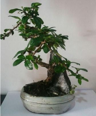 S şeklinde ithal bonsai ağacı  İzmit cicek , cicekci