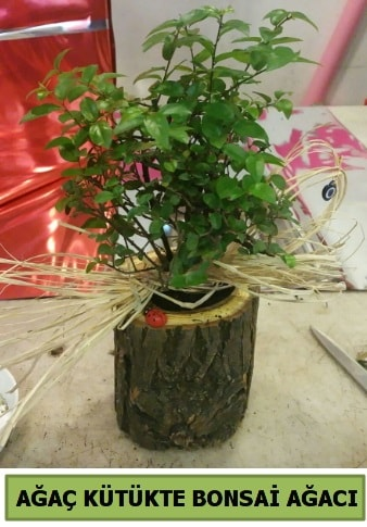 Doğal ağaç kütük içerisinde bonsai ağacı  İzmit online çiçek gönderme sipariş