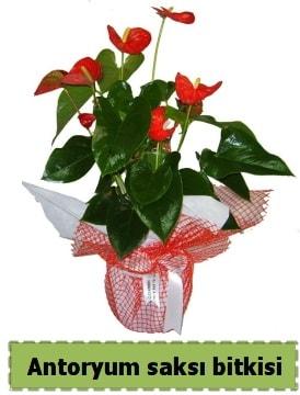 Antoryum saksı bitkisi satışı  İzmit anneler günü çiçek yolla