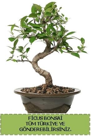 Ficus bonsai  İzmit online çiçek gönderme sipariş