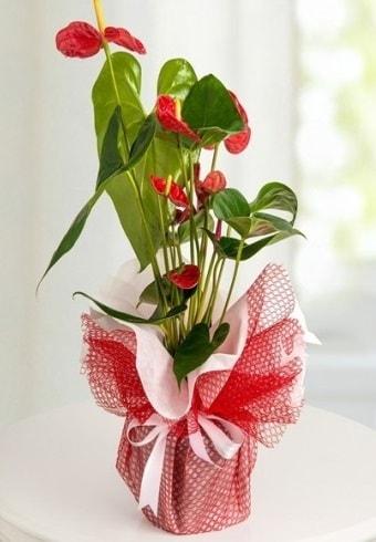 Anthurium Saksı Çiçeği  İzmit çiçek online çiçek siparişi