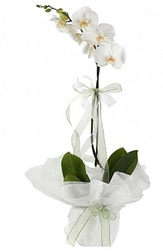 Tekli Beyaz Orkide  İzmit çiçek online çiçek siparişi