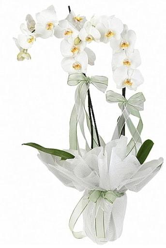 Çift Dallı Beyaz Orkide  İzmit çiçekçi telefonları