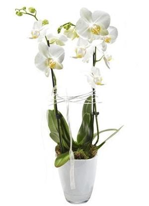 2 dallı beyaz seramik beyaz orkide saksısı  İzmit online çiçek gönderme sipariş
