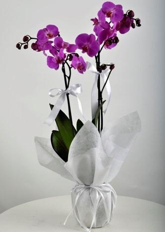 Çift dallı saksıda mor orkide çiçeği  İzmit online çiçekçi , çiçek siparişi