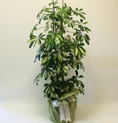 Şeflera salon bitkisi  İzmit cicekciler , cicek siparisi