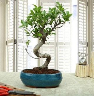 Amazing Bonsai Ficus S İthal  İzmit yurtiçi ve yurtdışı çiçek siparişi