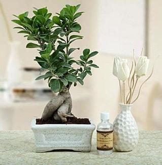 Ginseng ficus bonsai  İzmit güvenli kaliteli hızlı çiçek