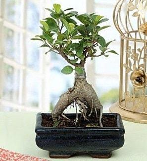 Appealing Ficus Ginseng Bonsai  İzmit çiçekçi telefonları