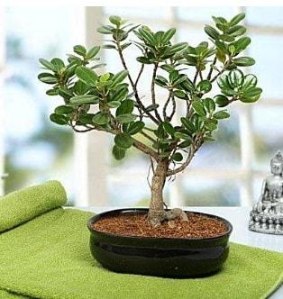 Lovely Ficus Iceland Bonsai  İzmit çiçekçi telefonları