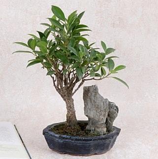 Japon ağacı Evergreen Ficus Bonsai  İzmit online çiçek gönderme sipariş