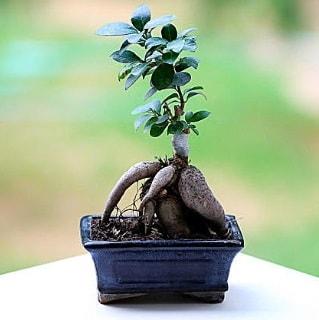 Marvellous Ficus Microcarpa ginseng bonsai  İzmit online çiçekçi , çiçek siparişi