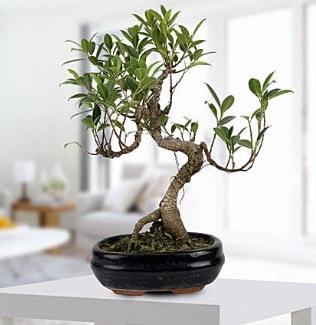 Gorgeous Ficus S shaped japon bonsai  İzmit internetten çiçek satışı