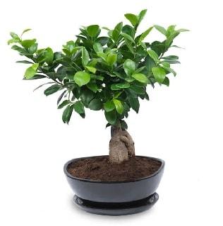 Ginseng bonsai ağacı özel ithal ürün  İzmit kaliteli taze ve ucuz çiçekler