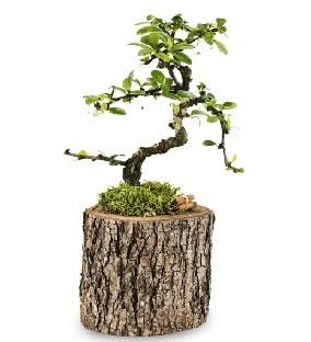Doğal kütükte S bonsai ağacı  İzmit 14 şubat sevgililer günü çiçek